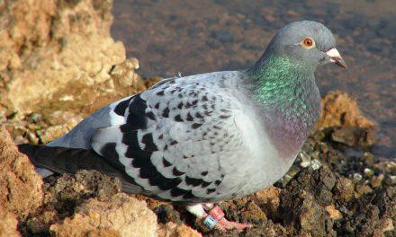 Oiseaux de Sainté : Mis à part les gens qui croient toujours aux promesses des politiciens, il y a deux sortes de pigeons à Sainté.