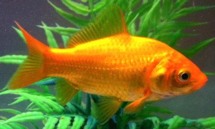 Mr Perdriau nous prend-t-il pour des poissons rouges?