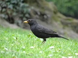 Reconnaître les Oiseaux de Sainté : un maitre chanteur